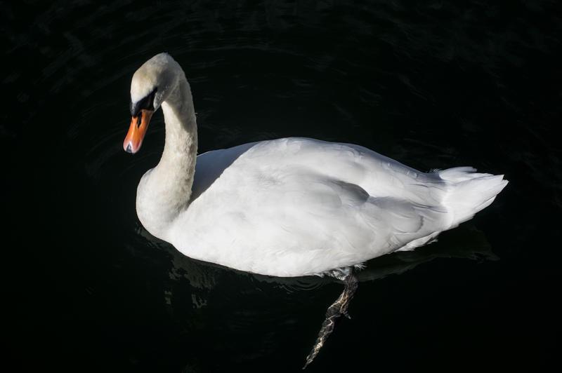 Swan2_0.jpg